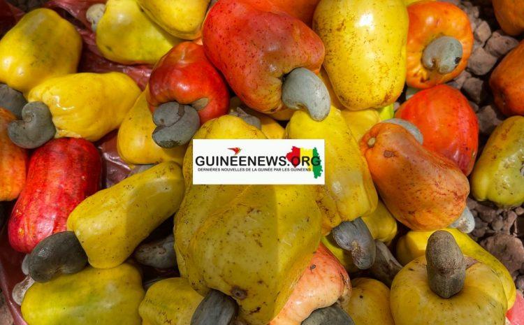 (Guineenews.org)Labé  l'un des rares producteurs d'anacarde de la région vante les vertus de cette plante tropicale