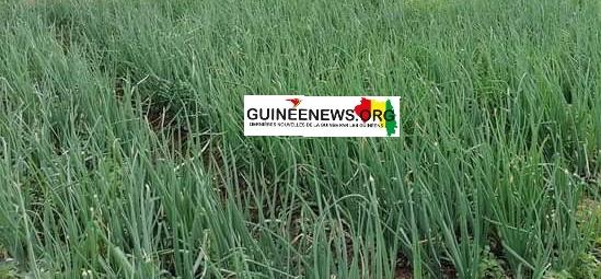 (Guineenews)Production d'oignons à Lélouma : des jeunes expérimentent la culture