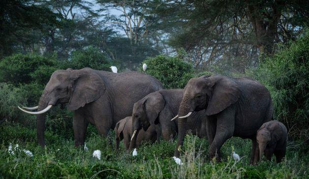 (HuffPost)Pourquoi ce troupeau d'éléphants va prendre l'avion pour le Kenya