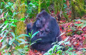 (rfi.fr)RDC: naissance d'un gorille dans le parc de Kahuzi-Biega.